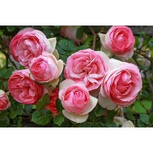 BR Rose PierreDeRon