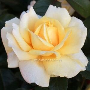 BR Rose winter sun