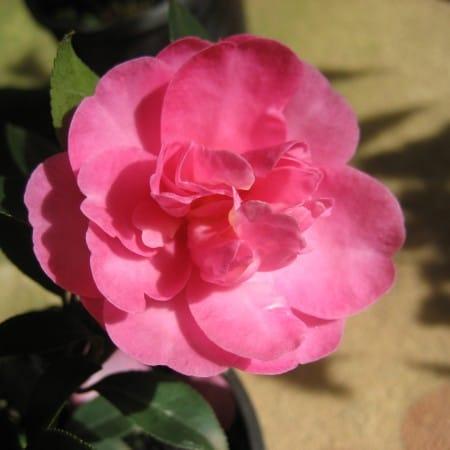 ExShrub Camellia paradise glow3