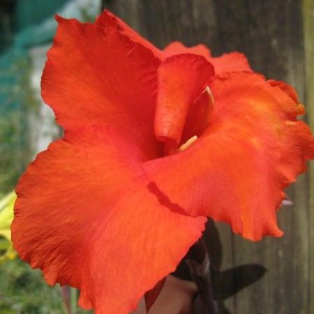 ExShrub cana lily7