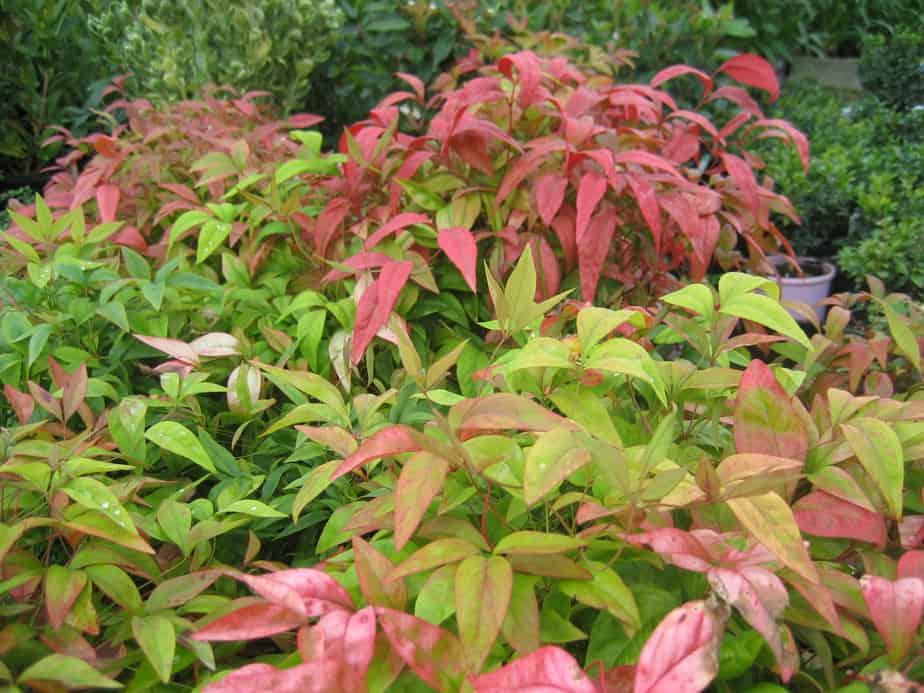 Nandina domestica nana black mountain nursery for Plante nandina