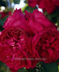 BR Rose_Red-Pierre2