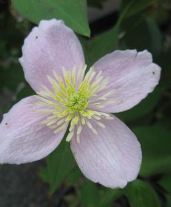 Clematis montana rubens_1