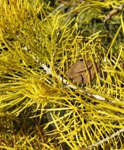 Con_Abies concolour winter gold1