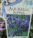 ExShrub Aquilegia alpina