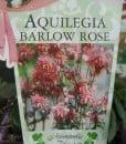 ExShrub Aquilegia barlow rose