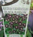 ExShrub Aquilegia black barrow