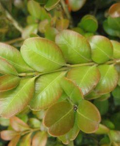 ExShrub Buxus japonica jap box2