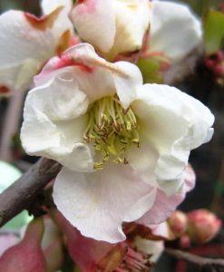 ExShrub Chaen apple blossom2