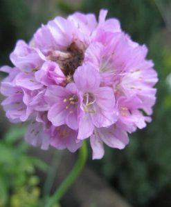 ExShrub armeria bees pink
