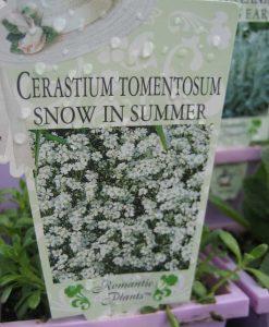 ExShrub cerastium snow in summer