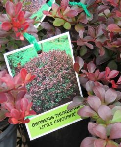 ExShrub_Berberis little favourite