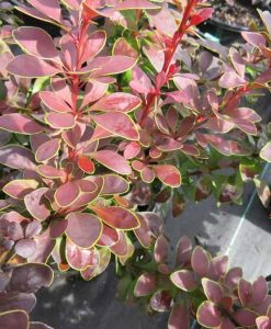 ExShrub_berberis golden ring