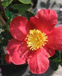 ExShrub_camellia yuletide