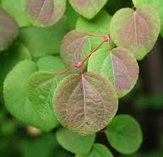 ExTRee_Cercidiphyllum japonicum