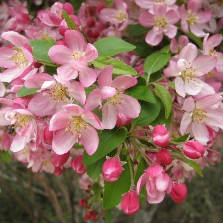 ExTree Malus floribunda9