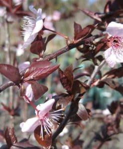 ExTree prunus nigra83