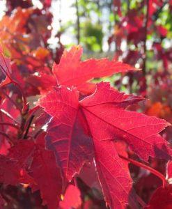 ExTree_Acer autumn blaze71