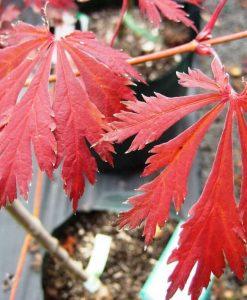 ExTree_Acer japonicum acontifolium1