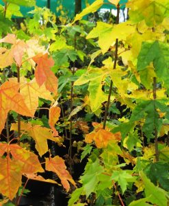 ExTree_Acer platanoides norway maple5