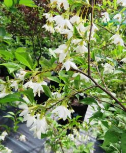 ExTree_styrax japonica 1