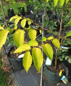 ExTree_zelkova Golden flame (2)