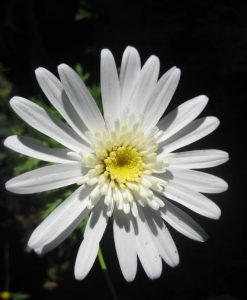 Exotic Agryanthemum white anemone
