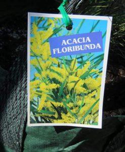 Nat_Acacia floribunda