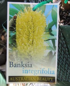 Nat_Banksia integrifolia