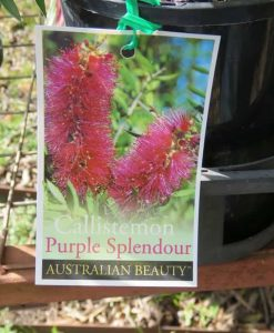 Nat_Callistemon purple splendour