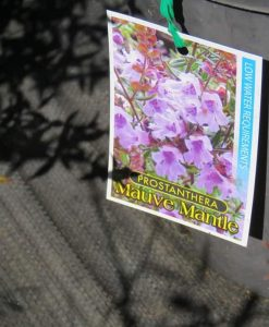 Nat_Prostanthera mauve mantle1
