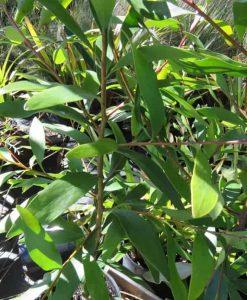 Nat_hakea salicifolia2