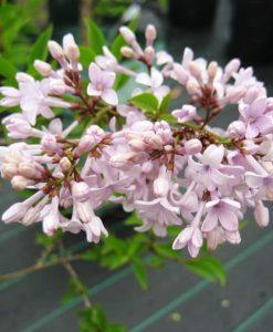 Persian lilac1