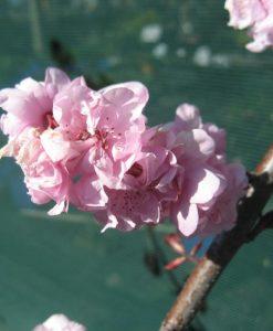 Prunus blireana1