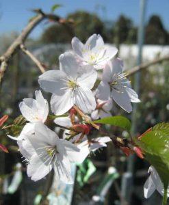 Prunus subhirtella pendula_1