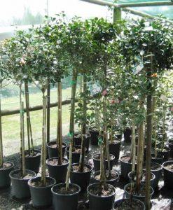 Standard camellia1