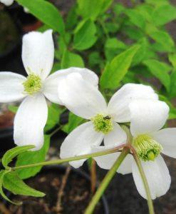 clematis montana alba_1