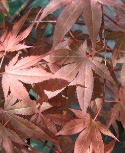 ExTree_acer palmatum atropurpureum8