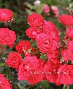 BR Rose_GardenerePleasure