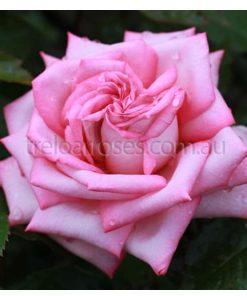 BR Rose_WeddingBells