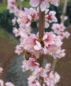 ExTree Prunus elvins3