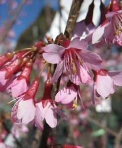 ExTree Prunus okame4