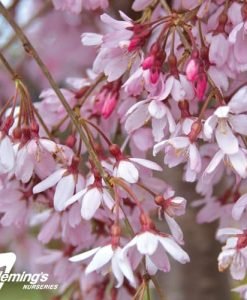 prunus_pink_snow_showers