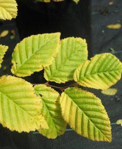 ExShrub_carpinus betulus