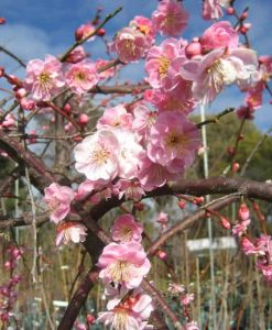 Exotic Tree_Prunus mume apricot6