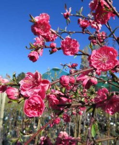 Prunus persica1