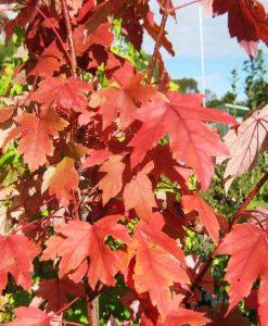 ExTree Autumn Blaze5