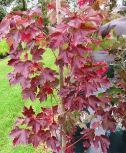 ExTree_acer rubrum autumn red1