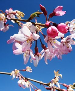 ExTree_prunus pink snow showers2