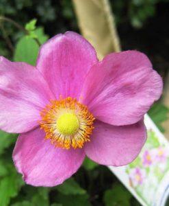 Exshrub_anemone bowles purple6